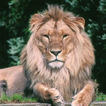 Lion of Narnia